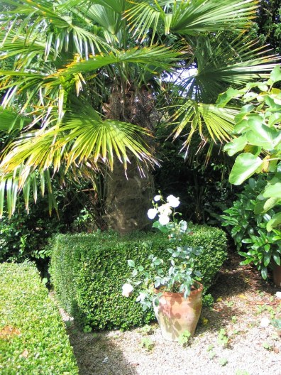 box hedge surrounding a palm