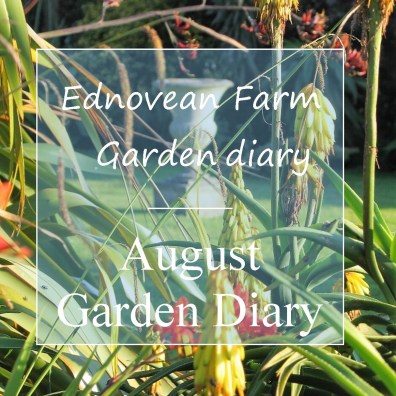august garden diary - orange aloes and urn