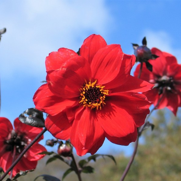 Red Dahlia and blue skies