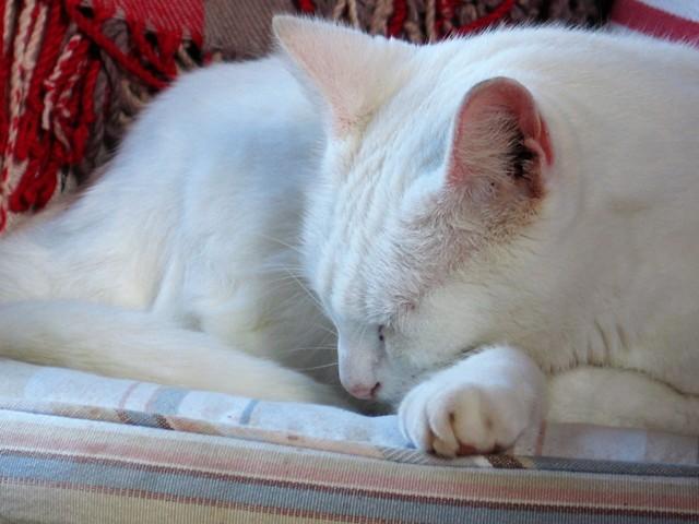 Hygge - cosy purring white cat