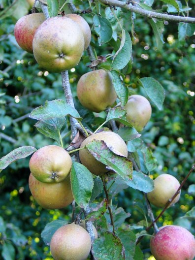 Apples on a bough