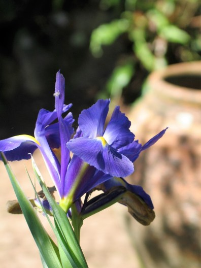 May gateway to summer - Iris and pot