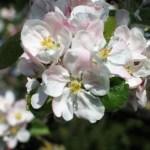 Pale pink apple blossom fn April