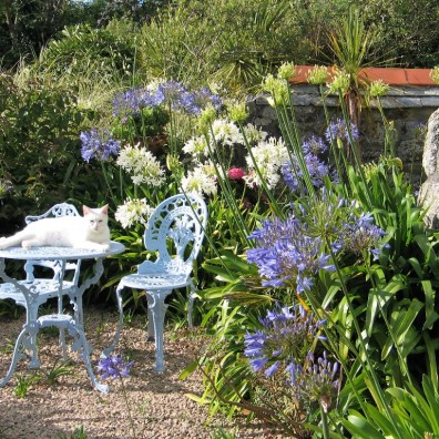 Bold Agapanthus blooms soften teh gravel terraces