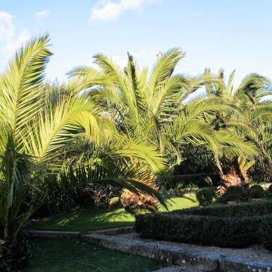 Date Palms in winter - Ednovean Farm's sub tropical garden