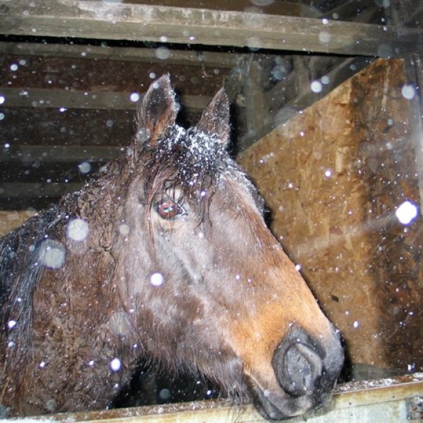Pony watching the snow from her stable