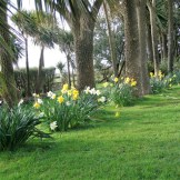 Avenue of Cordyline Australis underplanted with Daffodils - spring equinox, Cornwall