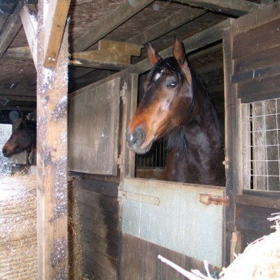 Sophie and Lizzie watching the snow from their stables