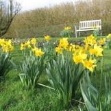 Spring daffodils in Cornwall