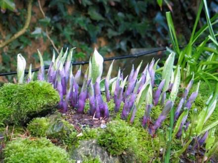 Newly emerging hostas - spring garden diary Ednovean Farm