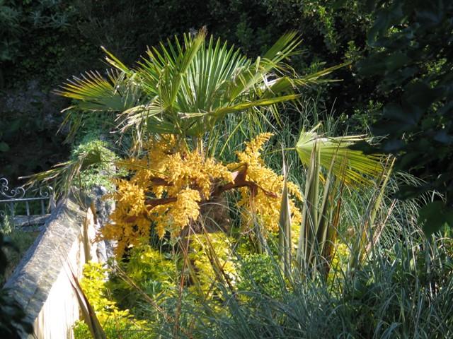 Tracycarpus Fortunei in flower in the Ednovean Farm garden