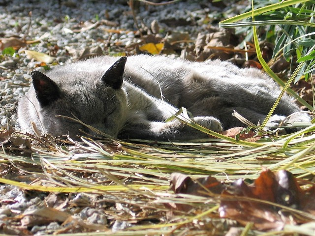 grey cat in autumn sunshine on a bed of leaves