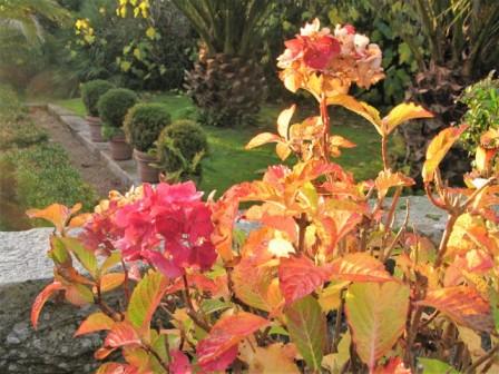 Russet hydrangea leaves