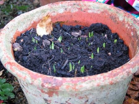 new bulb shoots in garden pot