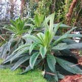 This years Echium growth