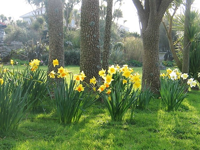 Naturalised Daffodils under cordylines