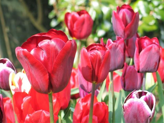 Red Tulips - spring garden flower