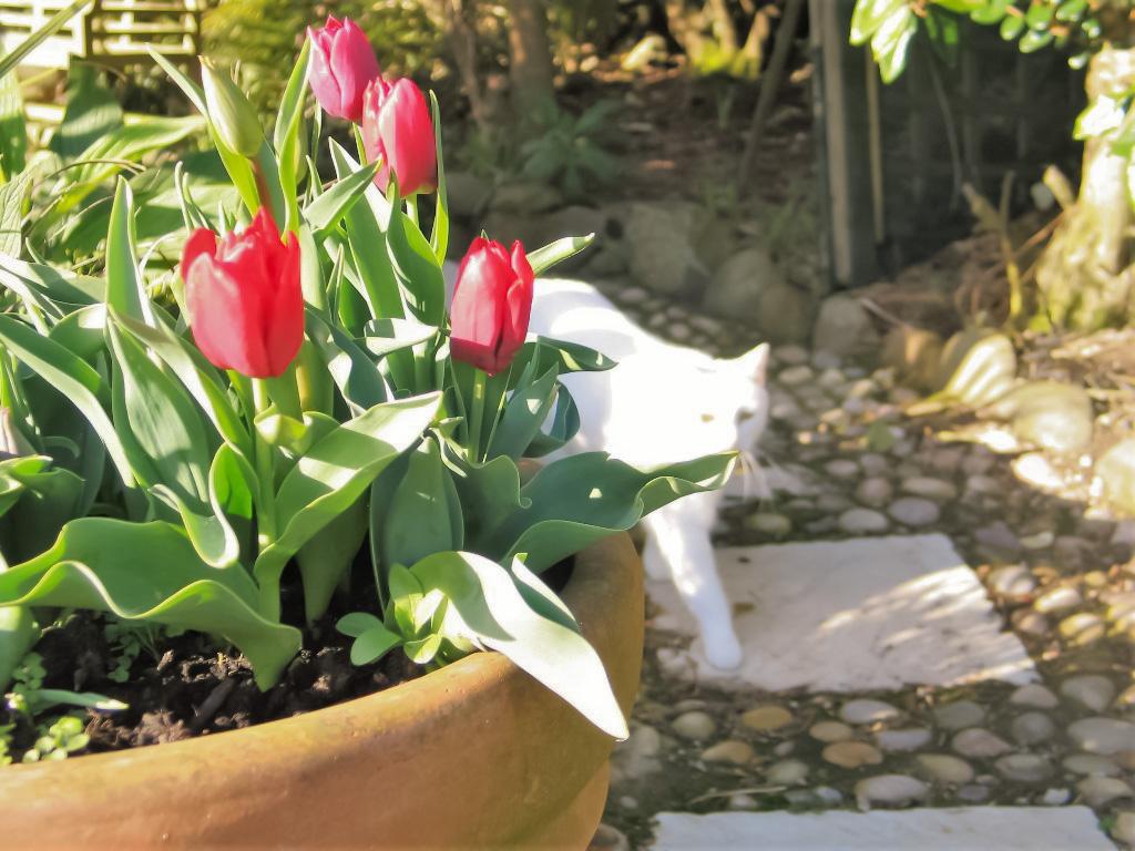 cat walking passed pot of tulips