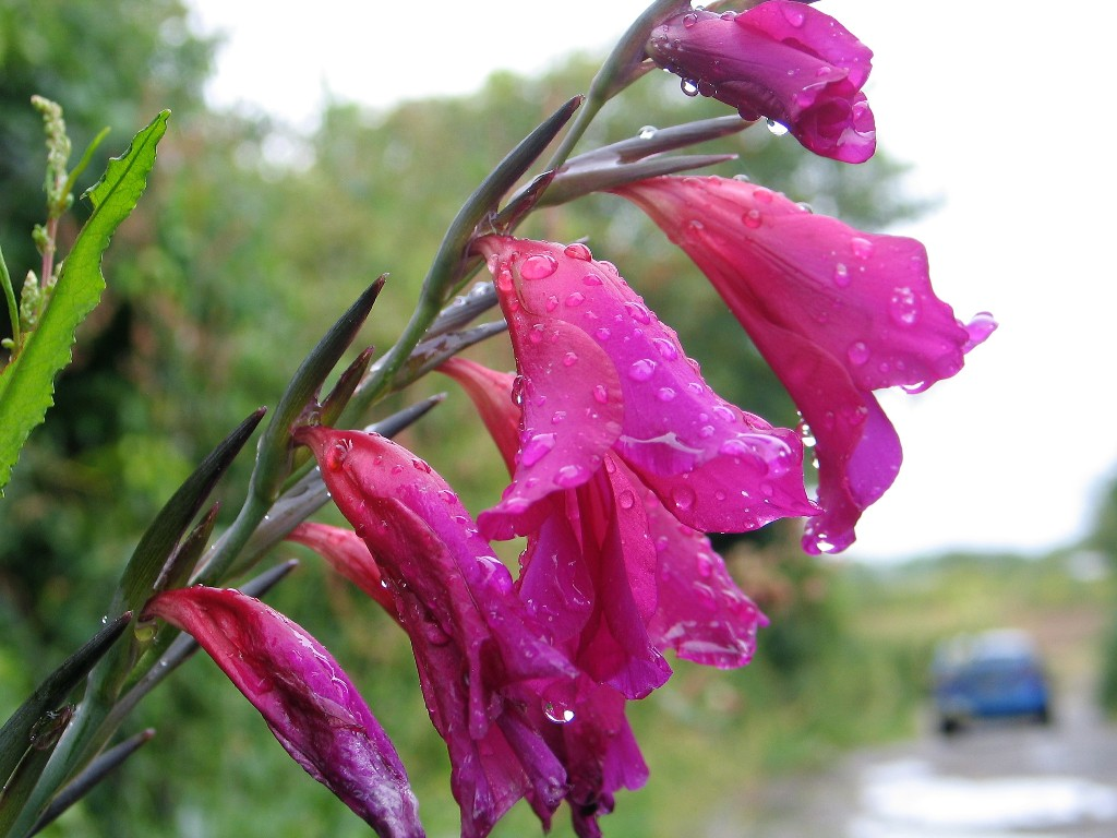 Deep pink flower - whistling jack - naturalised in cornish lanes in springtime in Cornwall