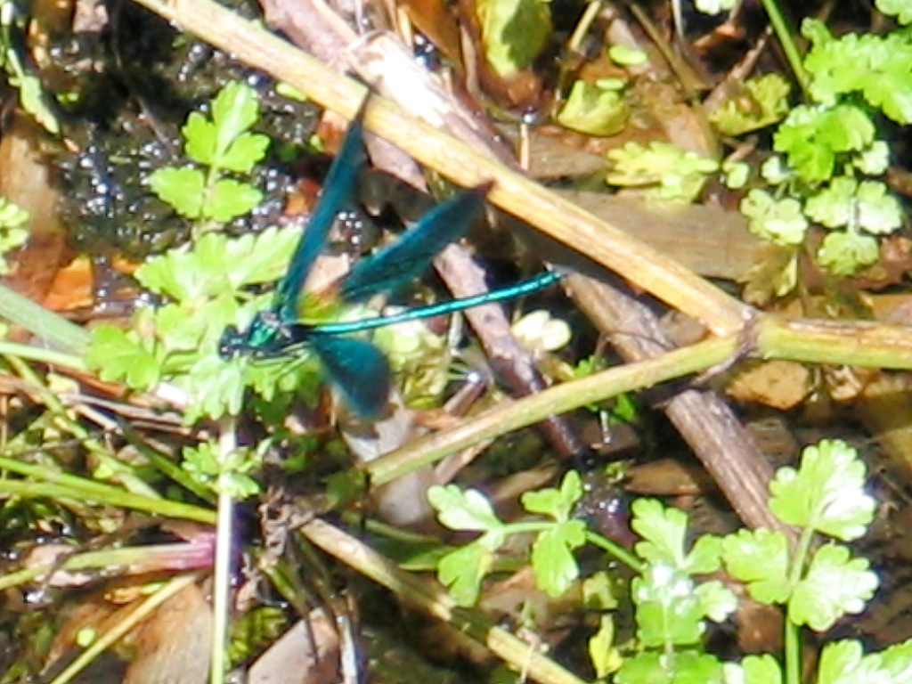 Dragonfly hovering above the stream - Penberth