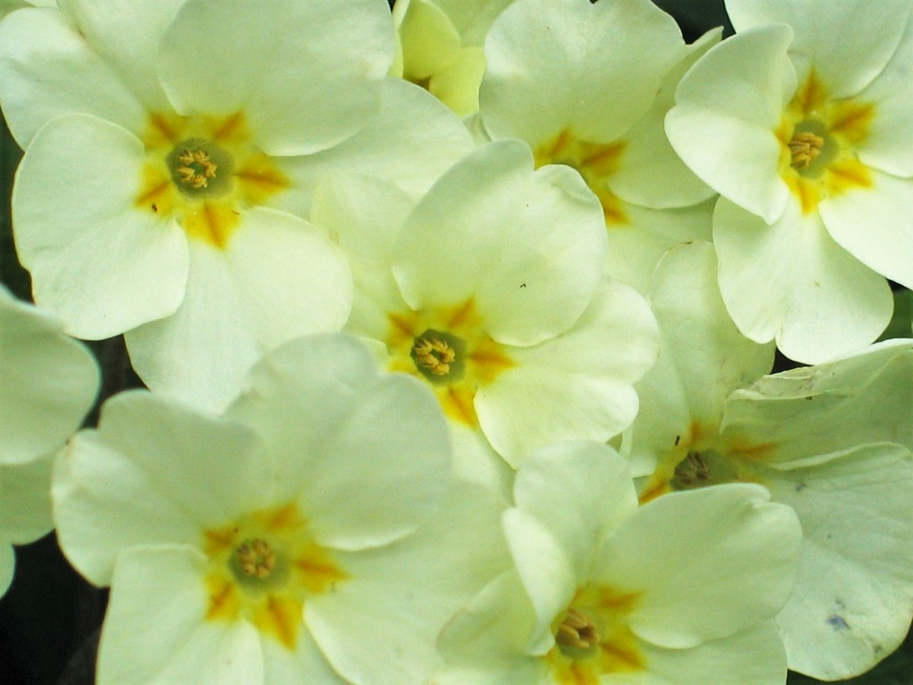 Nature is ready for the seaosn with delicate primroses blooming in the hedgerows