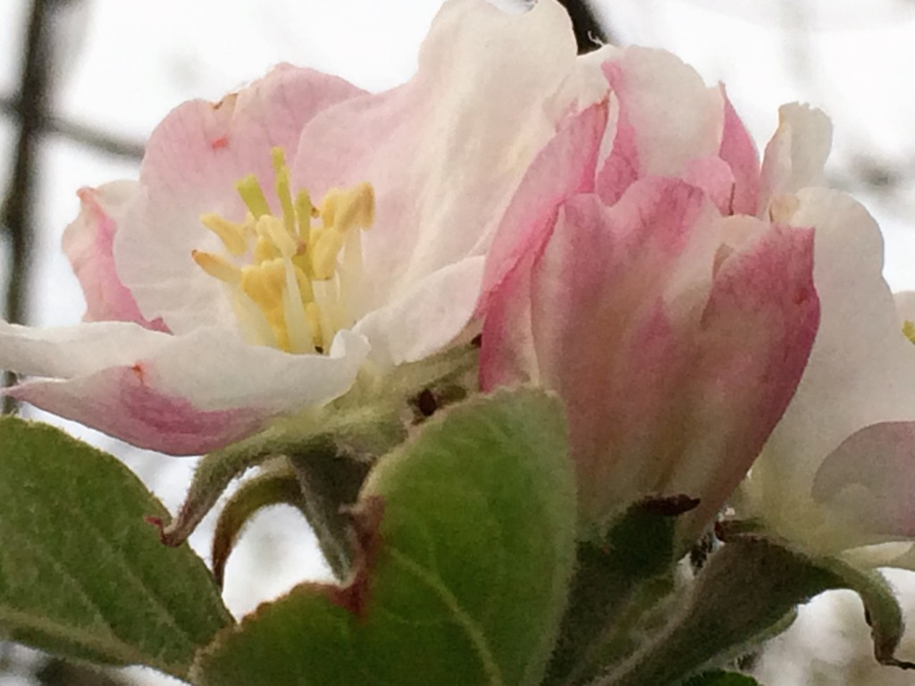 Natures sent love a letter to the world with new blossom in the apple trees