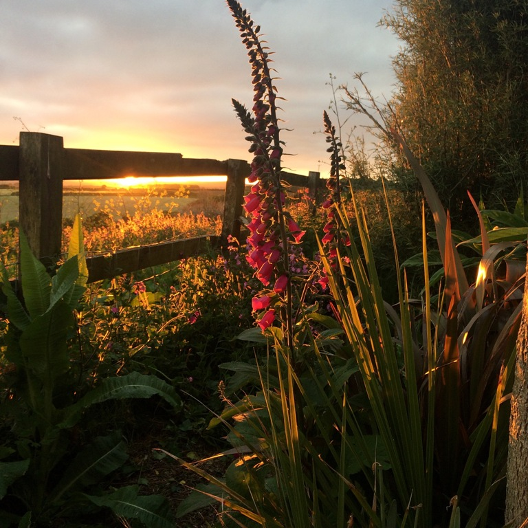 Sunset for a May garden diary - foxgloves