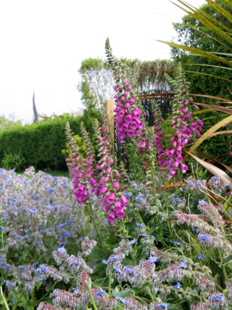 Foxgloves and borage at Ednovean Farm a sustainable garden mixing wild flowers and architectural echiums