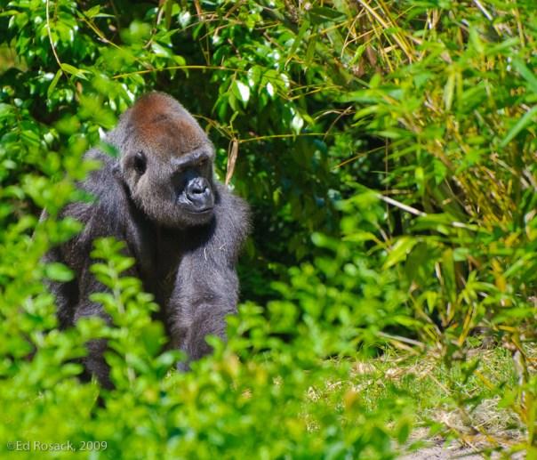 A photograph of a gorilla at Disney's Animal Kingdom