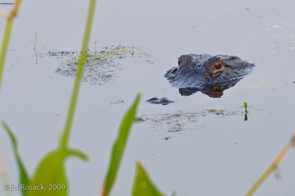 Calm water gator