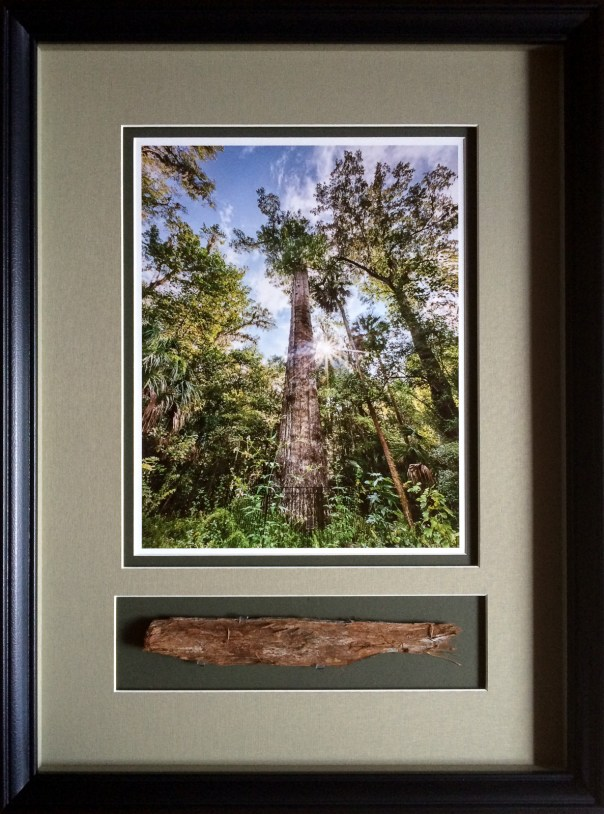 A shadowbox display of a photo of the 3500 year old Cypress tree in September of 2011 before it burned along with a small piece of the remains from after it burned down in January of 2012.