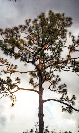 Pine tree at sunset