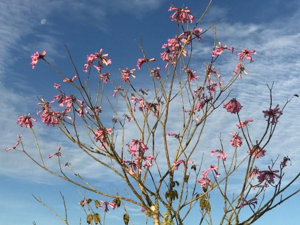 Moon behind Pink Trumpet tree