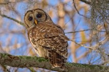 Barred Owl watches photographers