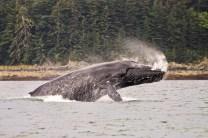Humpback Whale - Alaska