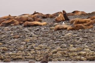 Humbolt Seals - Alaska