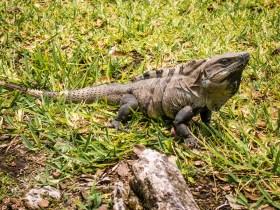 Iguana - Mexico