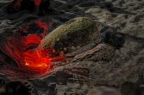 Loggerhead sea turtle laying eggs