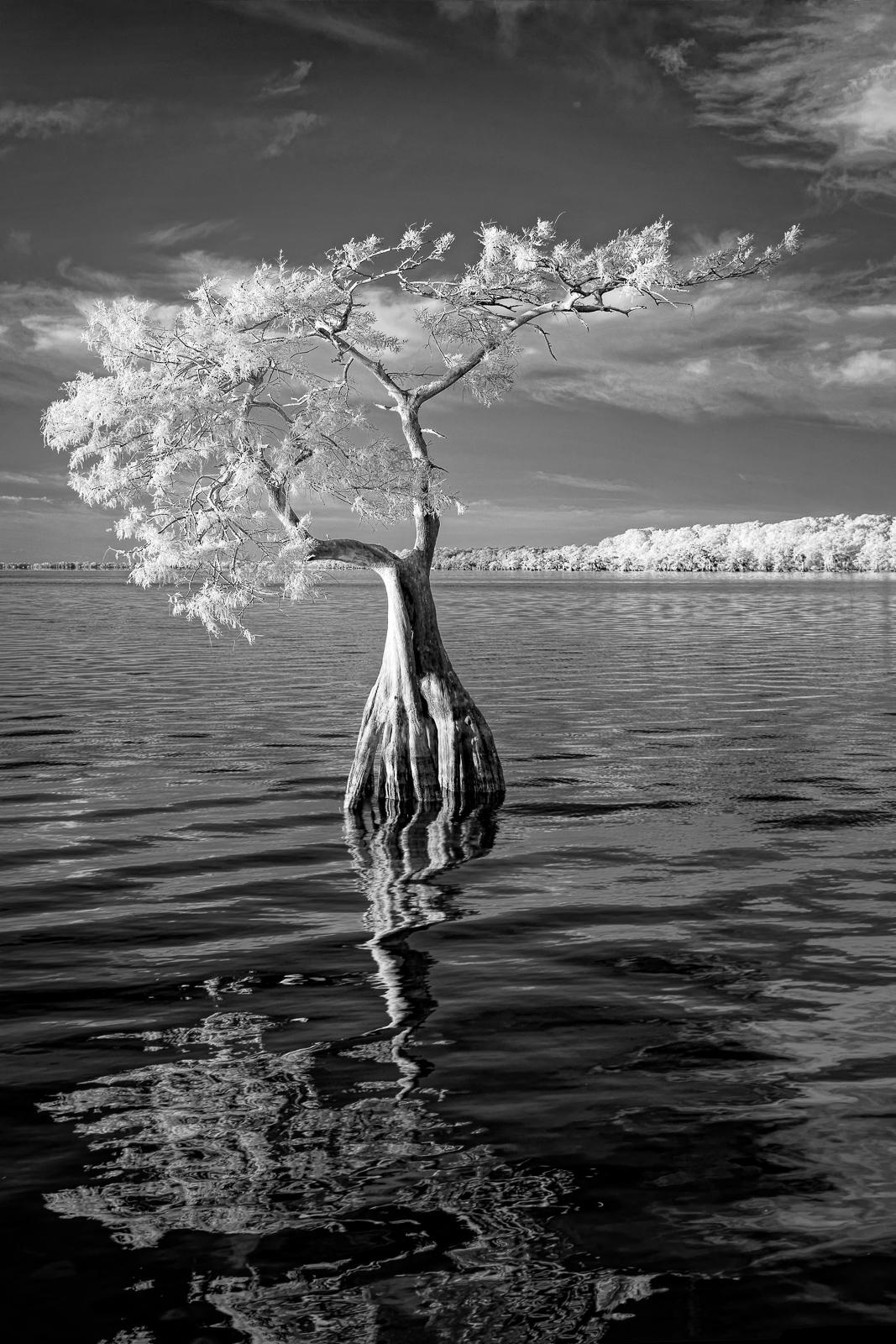 Lone Cypress - IR