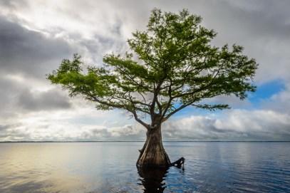 One cypress tree