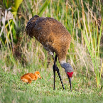 Sand Hill Crane colt watches Momma