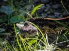 Rattle Snake - Shenandoah National Park
