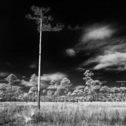 Lonesome lifeless pine: Merritt Island National Wildlife Refuge