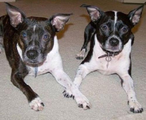 brat-dogs