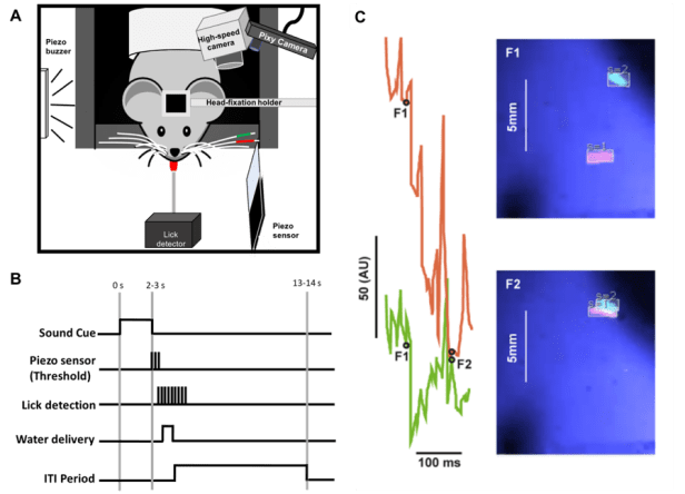 Figure using Pixy for two adjacent whiskers A. Setup. Head-fixed mice are acclimatized to whisker painting, and trained to use their whiskers to contact a piezo-film touch sensor. A Pixy camera is used to track whiskers in real-time (left), a high-speed color camera is used simultaneously to acquire data. B. Paradigm for whisker task. A sound-cue initiates the trial. The animal whisks one of the two painted whiskers into contact with a piezo-film sensor and if contact reaches threshold, the animal obtains a liquid reward. There is a minimum inter-trial interval of 10 seconds. C, Capturing whisker motion in real-time. The movement and location of the D1 and D2 whiskers shown at two consecutive time points (20 ms apart, left & right images). Lines corresponding to the location of the two whiskers (middle panel) acquired with Spike2 software. The waveform of whisker data reflects the spatial location and the dimensions of the tracked box around the whisker, which can both change as the whisker moves
