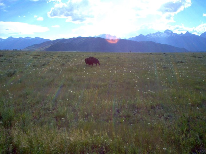 Buffalo standing in a field in Grand Teton National Park.
