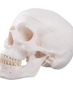 1020159 02 1200 1200 Classic Human Skull Model 3 part