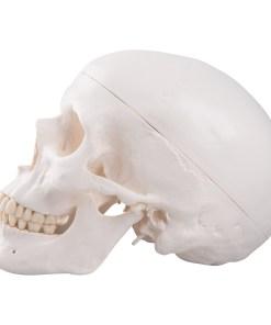 1020159 03 1200 1200 Classic Human Skull Model 3 part