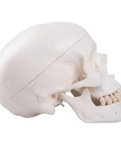 1020159 06 1200 1200 Classic Human Skull Model 3 part