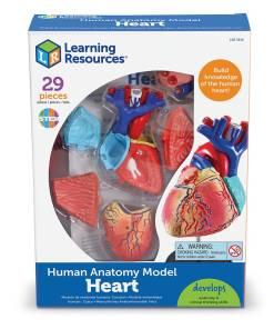 3334 heart model box nbr cnt sh 2
